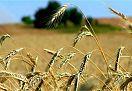 Vendita TERRENO AGRICOLO GRADARA